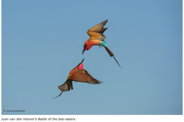 Juan Van den Heever's battle of the bee-eaters