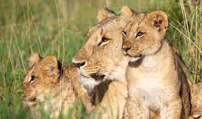sa good news brand south africa lions release - Heart-warming story – Lions arrive in SA after a bad time in Europe